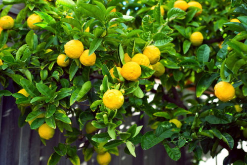 How to Grow a Lemon Tree in a Cup