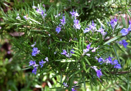 Did You Know What the Rosemary Can do For You