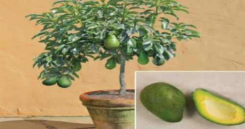 Grow your Own Avocado Tree in your Home