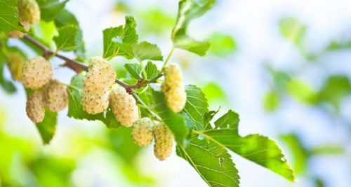 This Plant Can Cure your Tumor Within Minutes!