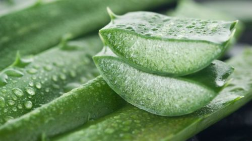 The Amazing Benefits of the Aloe Vera