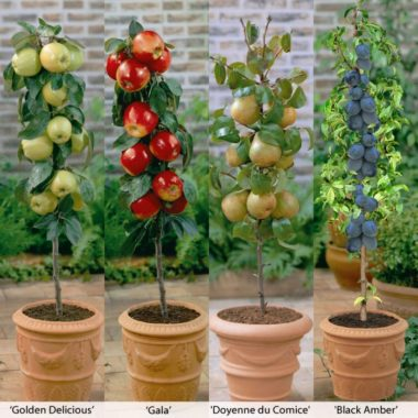 How to Grow Your Own Columnar Fruit Trees?