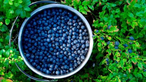 Grow an Unlimited Amount of Blueberries in Your Own Backyard