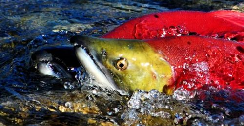 There is Radioactive Salmon in Canada – You Have to Read This