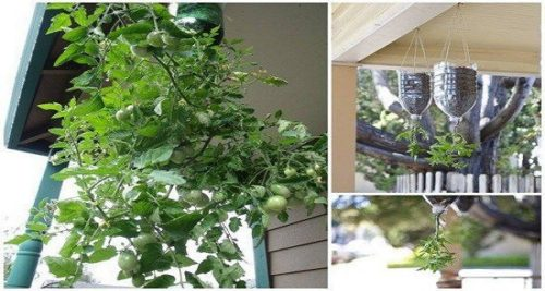 Plant and Harvest your Own Tomatoes Using Only a Bottle